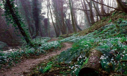 Snowdrop Festival Around Scotland